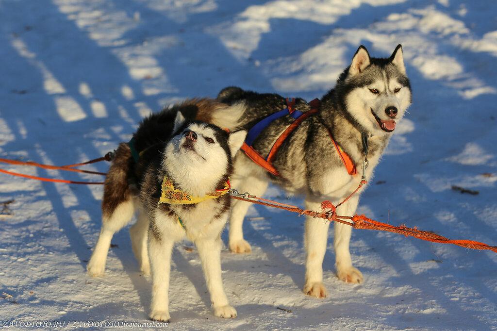 Зимние каникулы-2018. Хаски-город на Курорте Банное хаски, Собаки, Хаски, поэтому, собаками, заболеваний, инфекционных, бывает, практически, иммунитет, прекрасный, имеют, домашними, питомцамиКроме, контакте, любимыми, становятся, часто, время, последнее