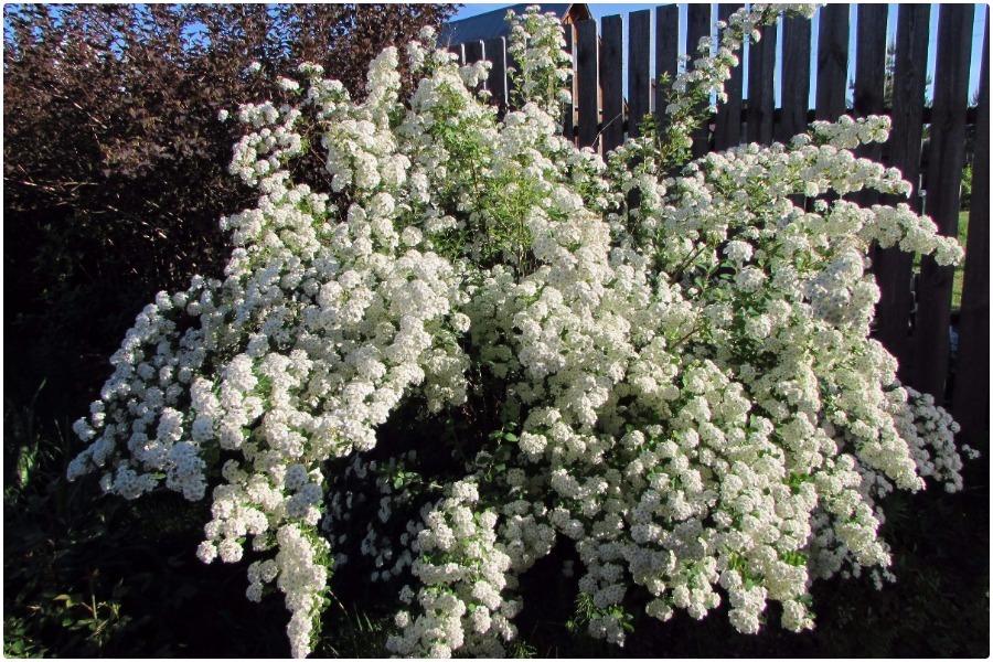Самые эффектные кустарники, цветущие весной-спирея вангутта