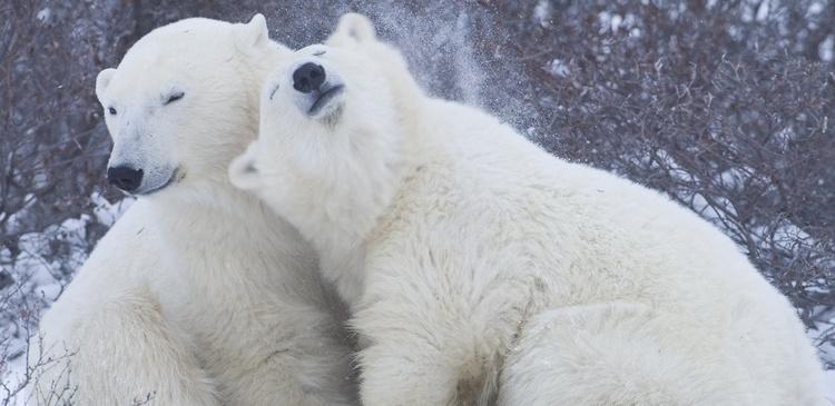 27 февраля Международный день полярного медведя. Парочка открытки фото рисунки картинки поздравления