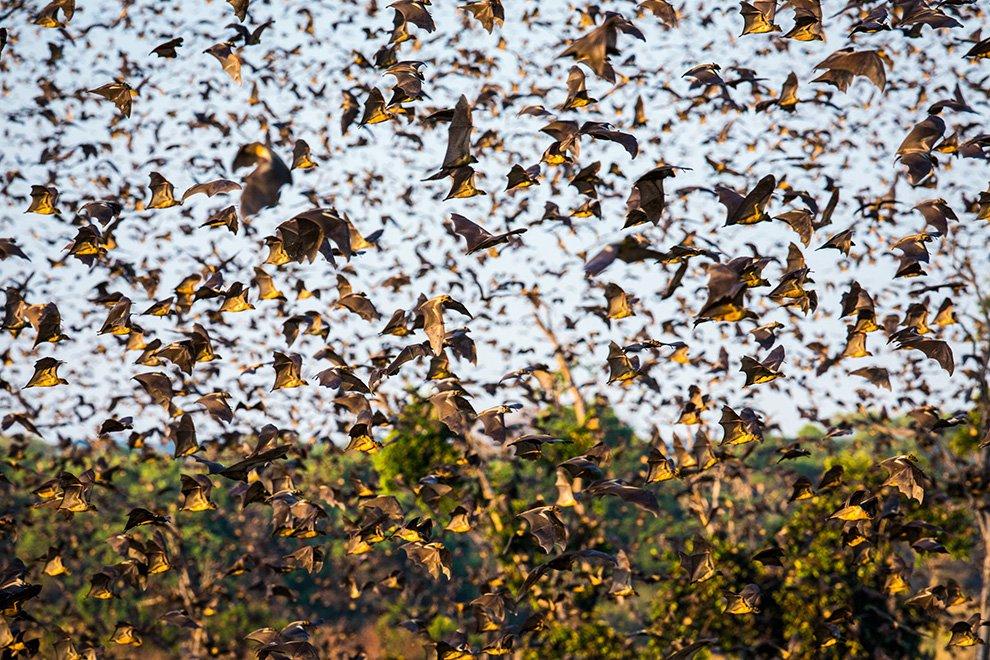 Миграция 8 млн летучих мышей в Замбии.