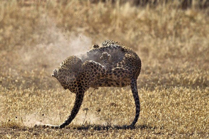 «Мы ехали вдоль реки Ауоб, когда увидели леопарда. Затем мы увидели второго, и они сближались.»