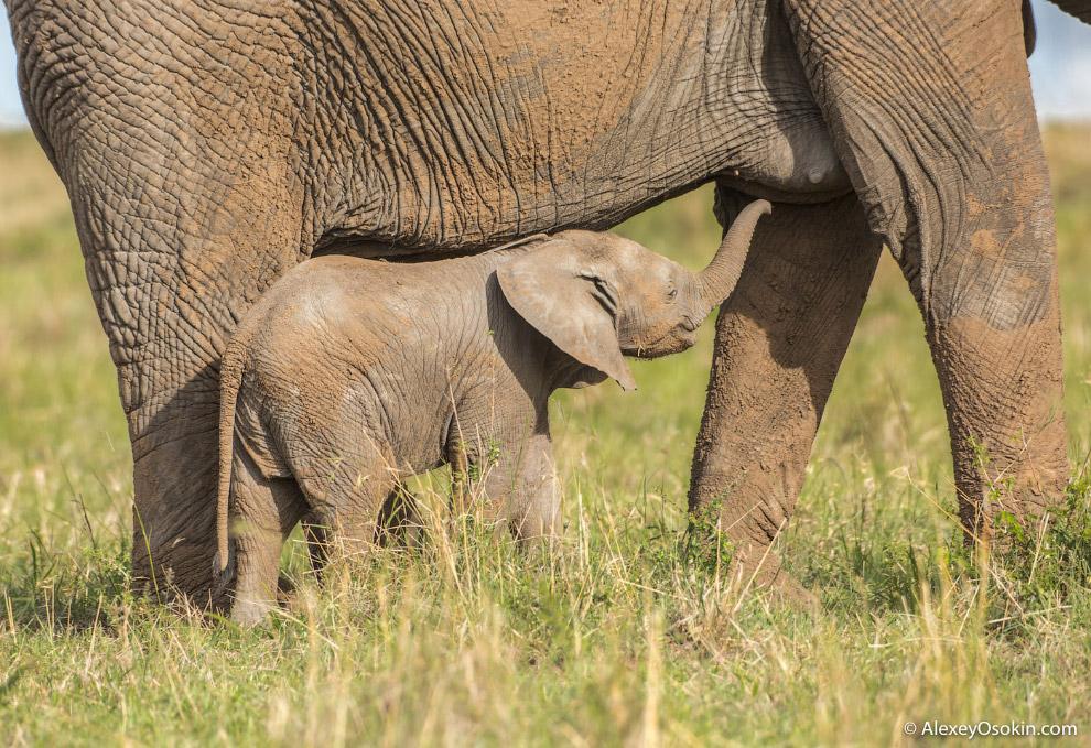 У слонов очень слабое зрение. Глаза гиганта способны разглядеть мелкие предметы лишь с расстоян
