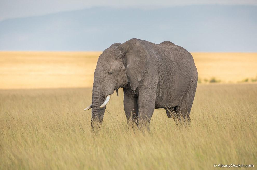 А ещё слоны совершенно не боятся мышей!