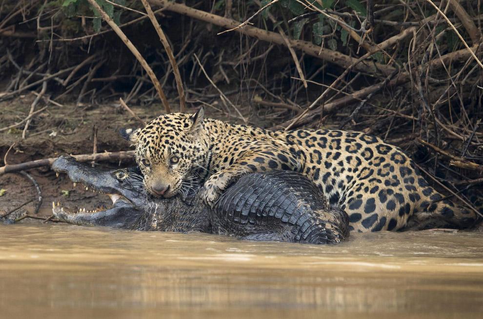 Иногда дороги самых мощных и страшных хищников Южной Америки пересекаются. Выглядит это страшно. Бра