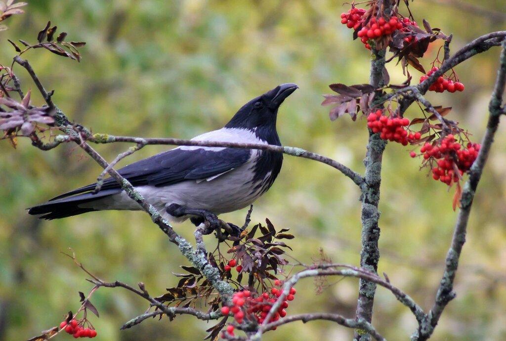 Осенняя ворона.