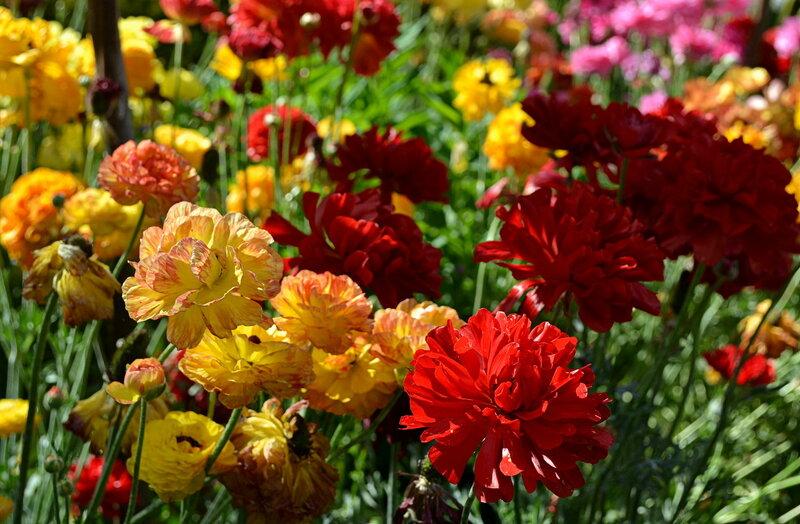 Лютики-розы весны