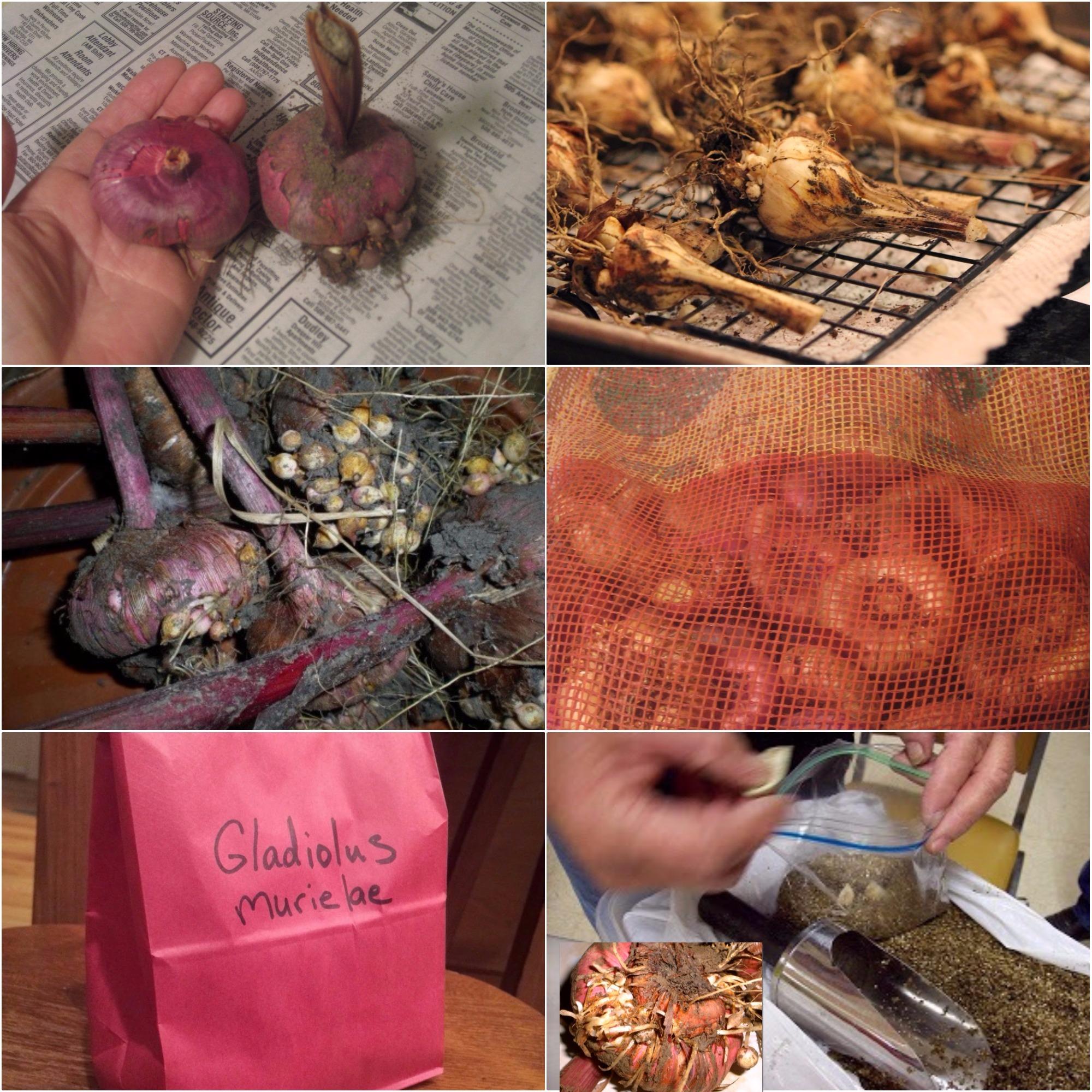 Как хранить луковицы гладиолусов
