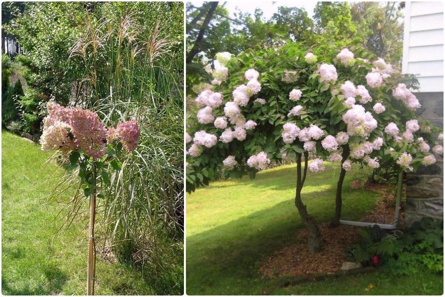 Гортензия в виде деревца: пошаговые рекомендации