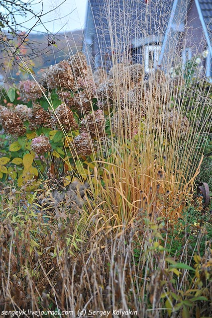 Molinia Windspiel Hydrangea paniculata Limelight.JPG