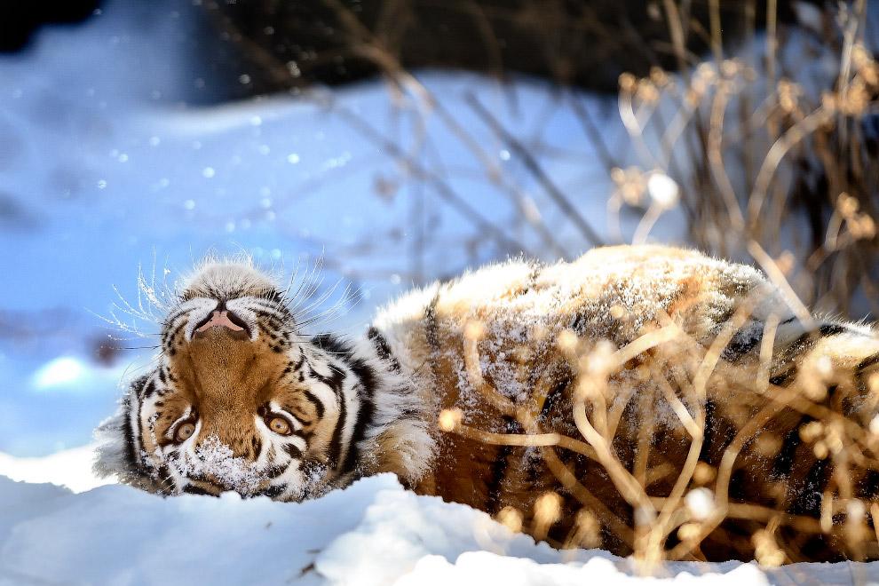 24. Как корова на льду. Кряква пытается ходить на замерзшем пруду в Юконе, штат Оклахома. (Фото Stev