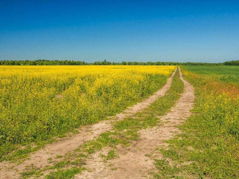 Рапсовые поля есть и в Новгородской области.