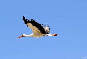 Белый аист летит...