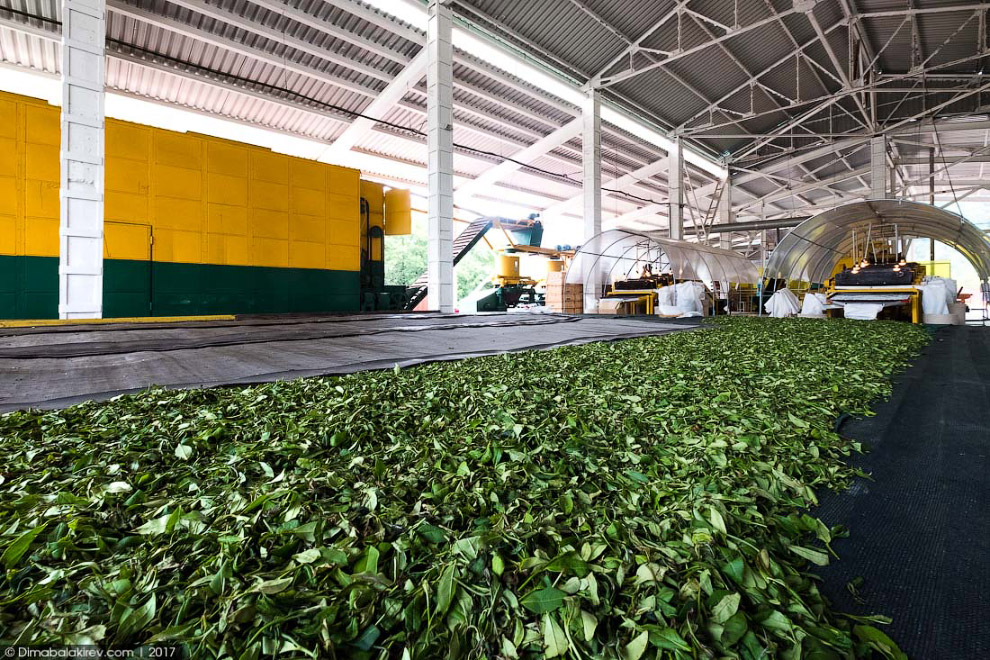 8. В настоящее время выращиванием и переработкой чая в Краснодарском крае занимаются нескольк