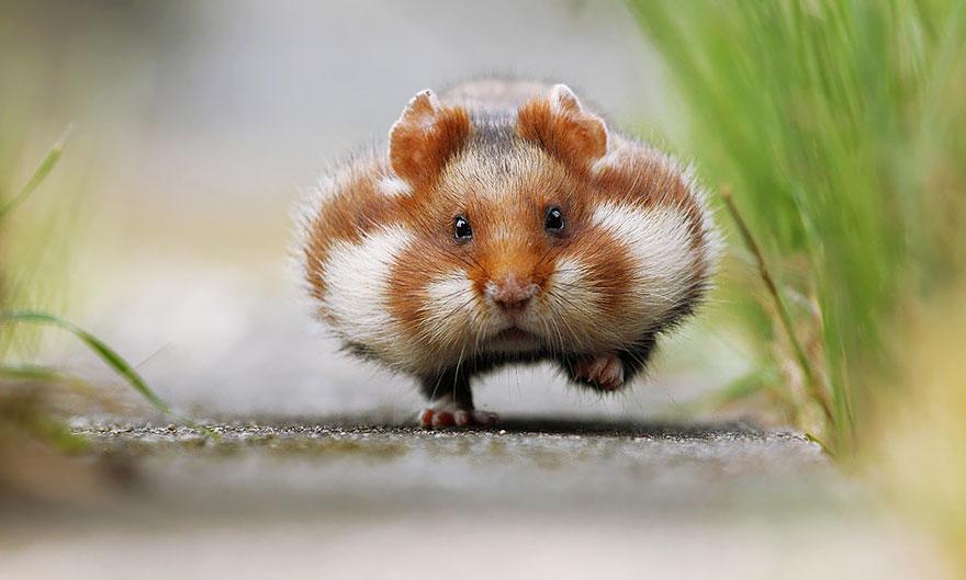 Очаровательные хомячки, от которых у вас зашкалят мимиметры (15 фото)