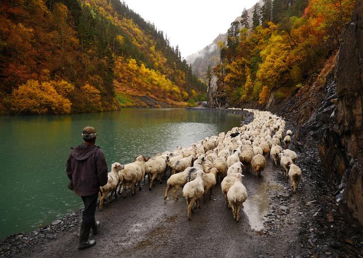 Перегон овец на Кавказе (27 фото)