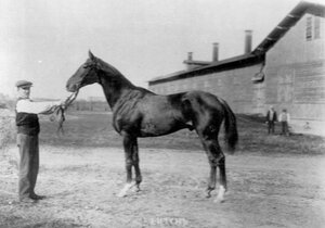 Лошадь Зейтун, победитель Большого международного приза.