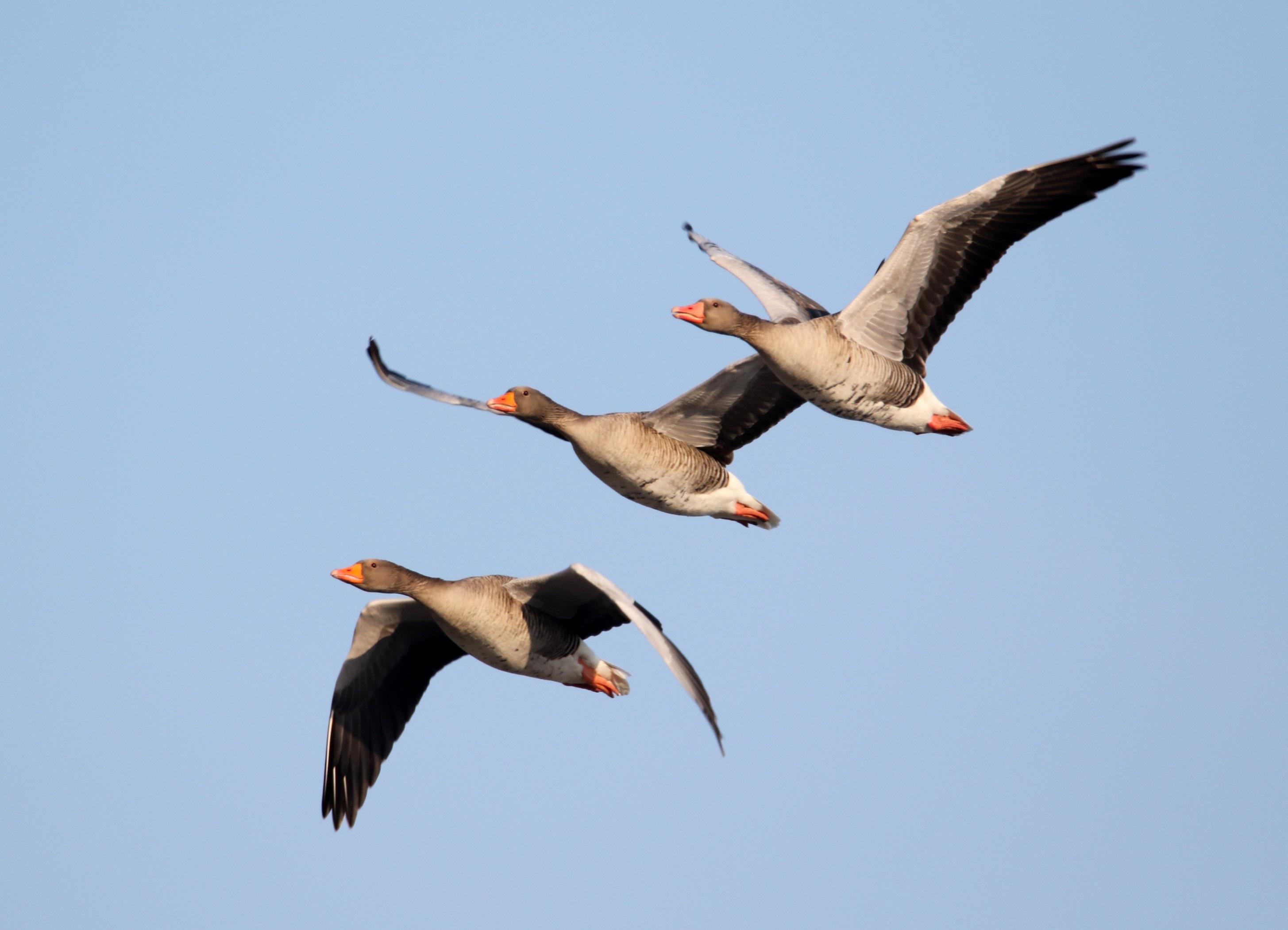 Картинки полета гусей