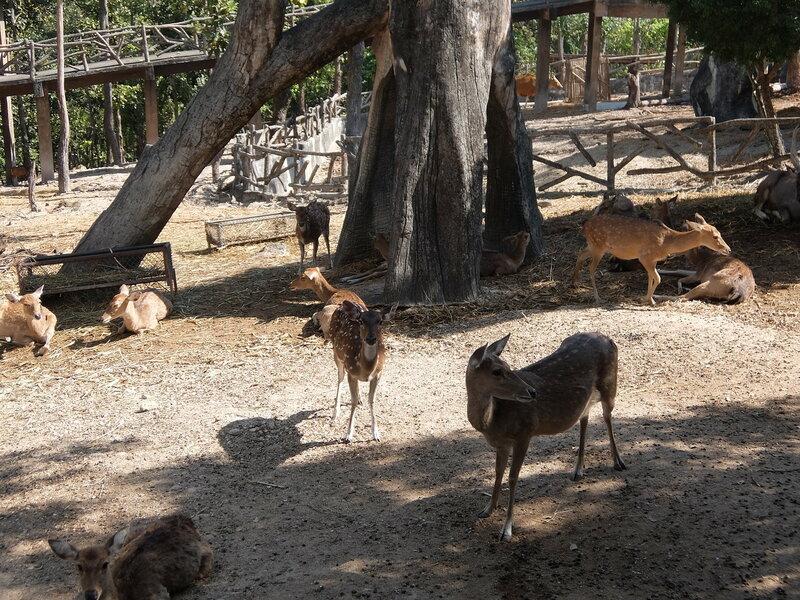 Чиангмай - Зоопарк - Олени