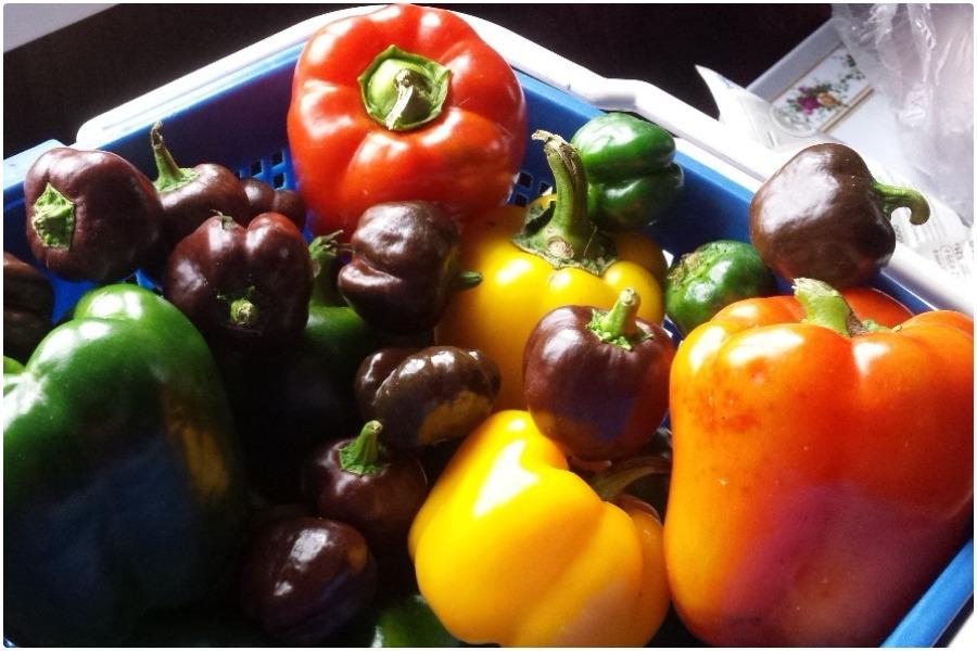 Перцы - как вырастить хороший урожай перцев + схема формирования перцев
