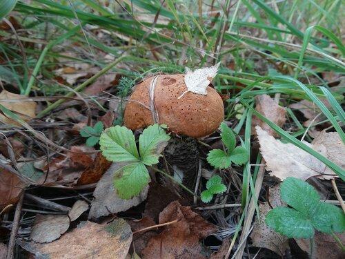 Осиновик жёлто-бурый (Leccinum versipelle) Автор: Привалова Марина