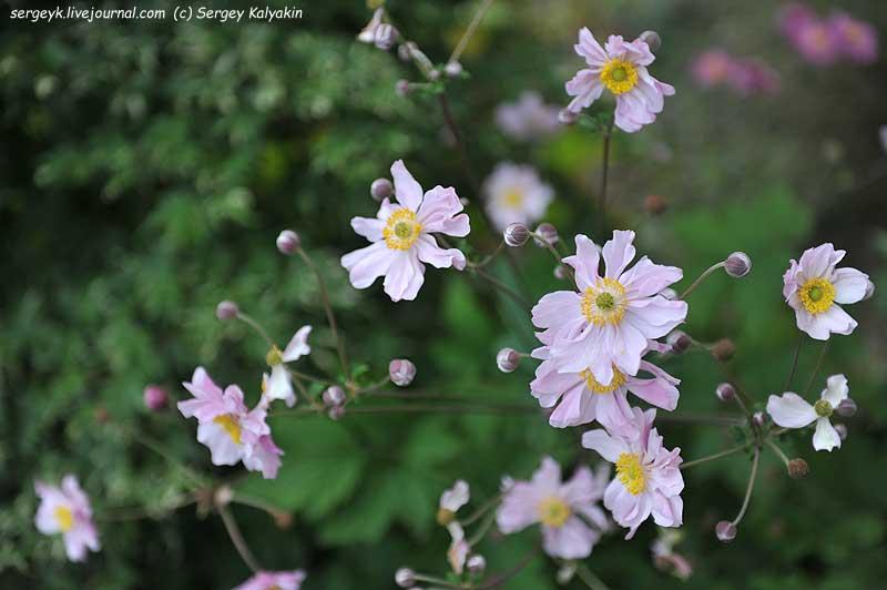 Anemone japonica.JPG