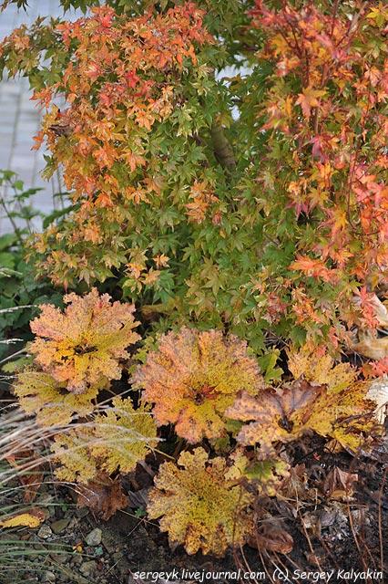Acer palmatum Honoo Peltiphyllum peltatum.JPG