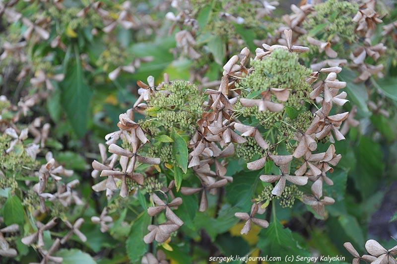Hydrangea paniculata Butterfly.JPG
