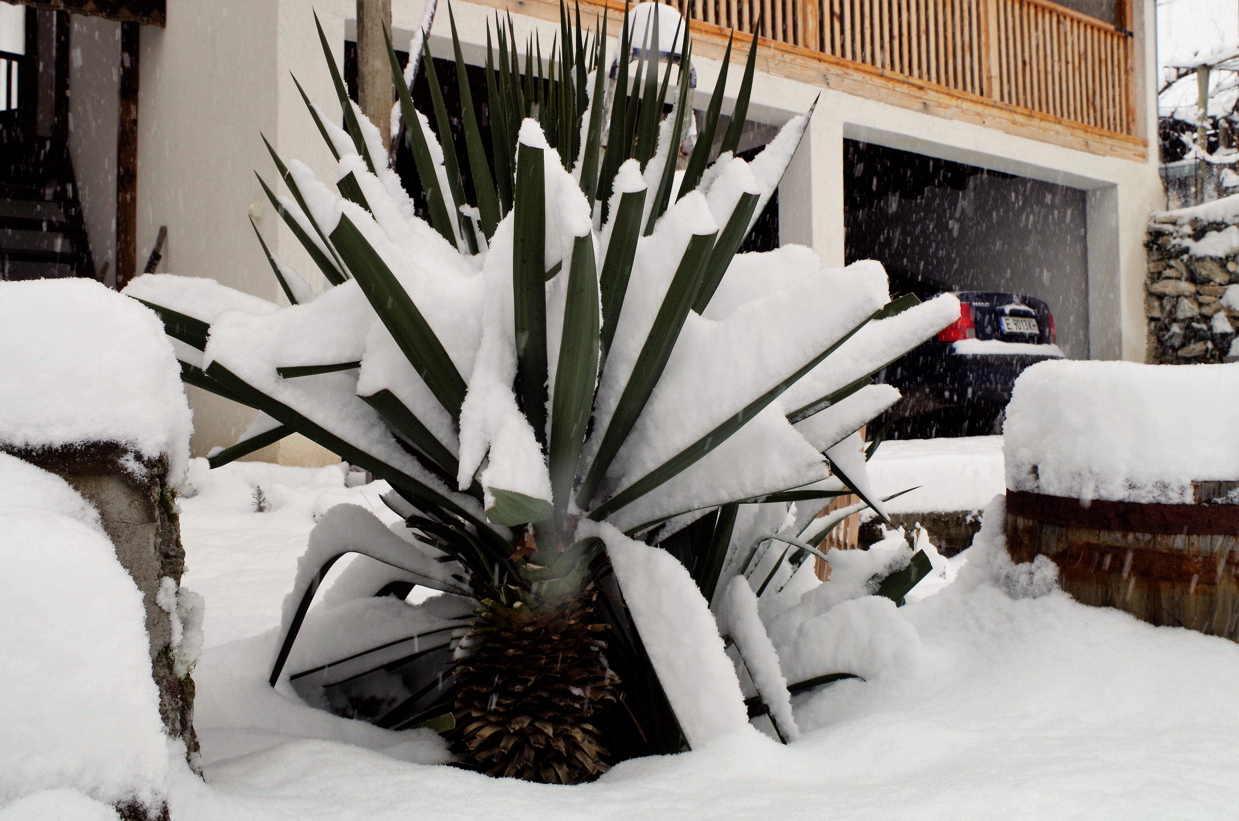 снег и юкка