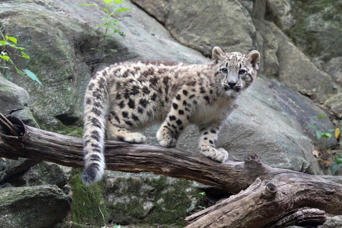 3. Снежного барса исключили из списка вымирающих видов.