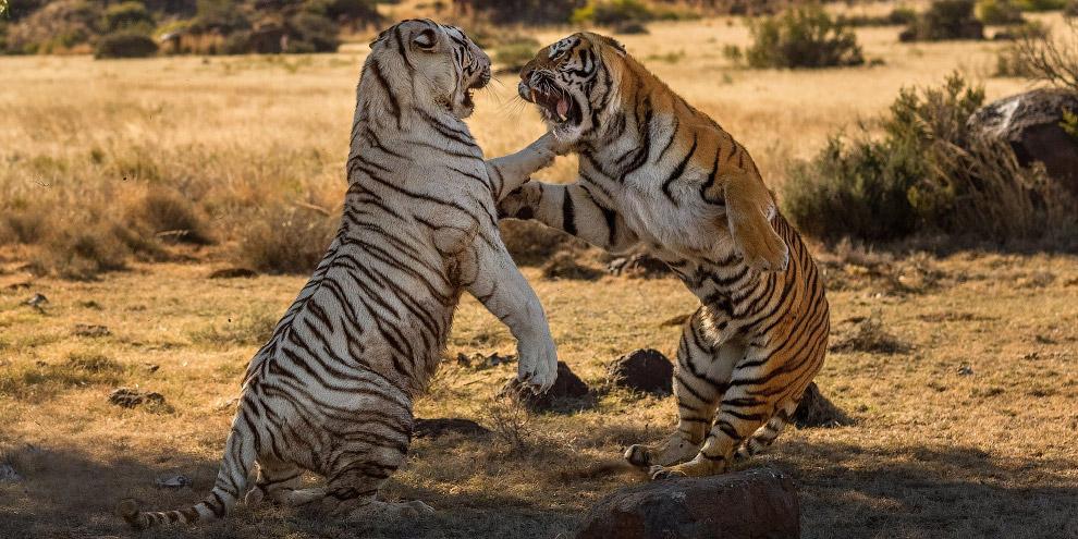 5. Тигры охотятся исключительно в одиночку, используя два приёма охоты: подкрадывание к добыче и ожи