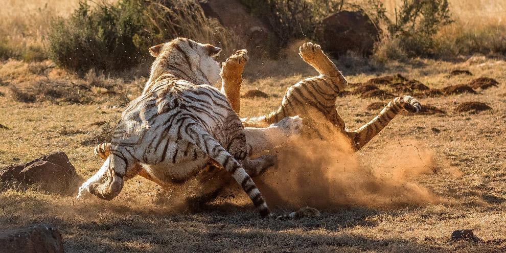9. А тем временем, «белая» тигрица победила и отстояла свою территорию. (Фото Alex Kirichko):
