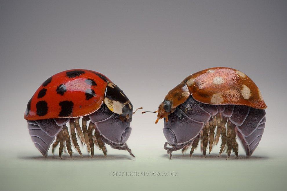 Оленька — жук из семейства Рогачей: