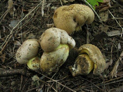 Болет укореняющийся (Caloboletus radicans). В Питере эти грибы растут под старыми дубами в парках, а в Румынии чаще встречаются под липами, на трамвайных остановках Автор фото: Станислав Кривошеев