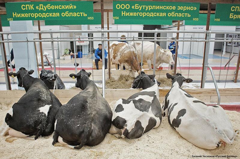 ВДНХ. Золотая осень.  коровы. 03.10.17.20..jpg