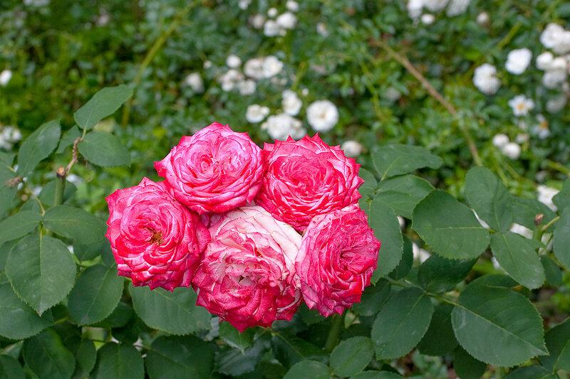 Никитский ботанический сад. Цветут крымские розы
