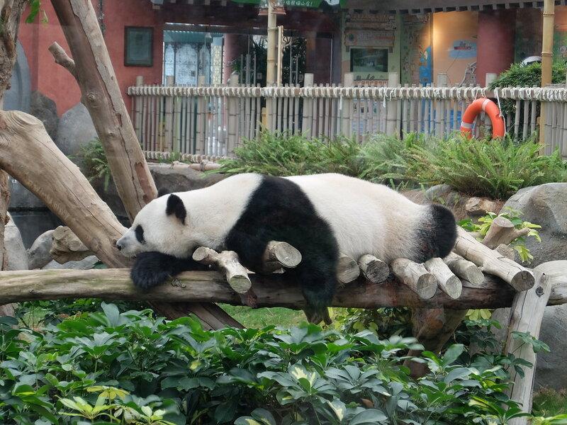Гонконг - Oкеанический парк - Панда