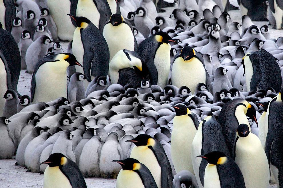 4. Колонии императорских пингвинов находятся в естественных укрытиях: за утёсами и крупными л