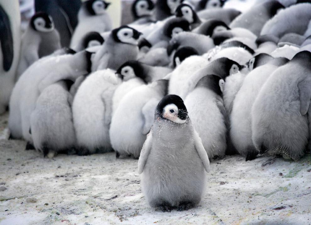 5. Часто императорские пингвины передвигаются лёжа на брюхе, работая лапами и крыльями. Выгля