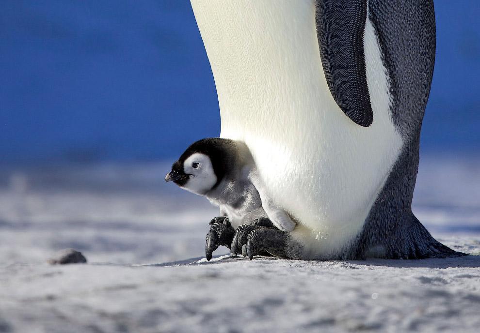6. У императорских пингвинов существует немного врагов, и естественный возраст этих птиц може