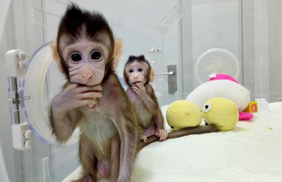 После этого успешного опыта ни одной научной команде не удавалось клонировать обезьяну так же, как Д