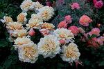 IMG_5617  роза кустарниковая Карамелла (Caramella) Kordes, 2001