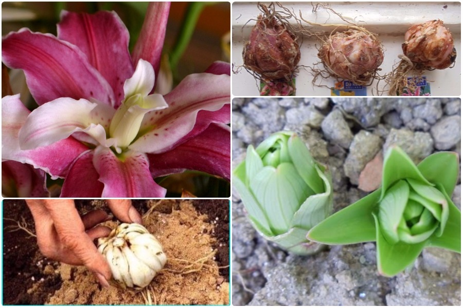 Уход при выращивании лилий 432