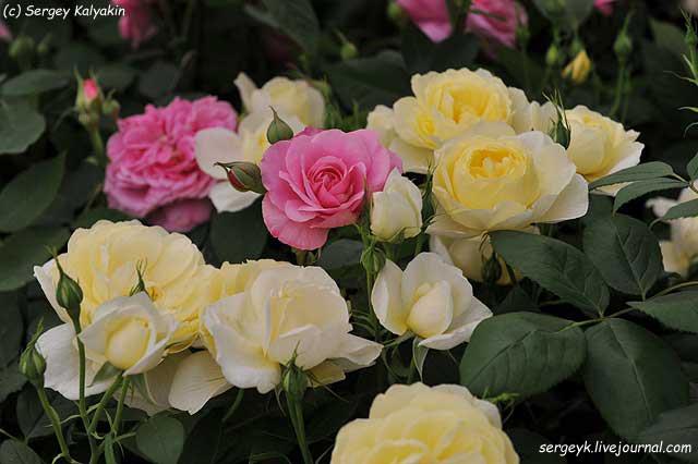 Rosa Vanessa Bell (7).JPG