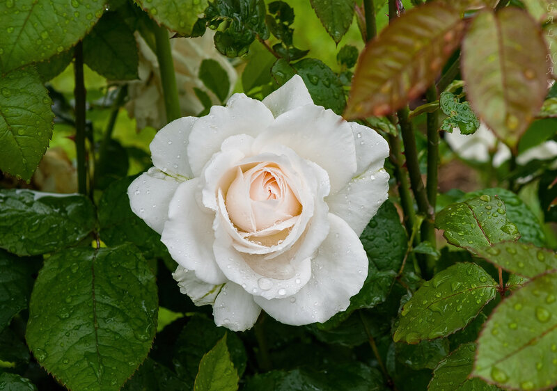 Застыли капельки водыНа нежно-бархатистой коже.Верь... не бесчувственны цветы,Живые розы плачут тоже.