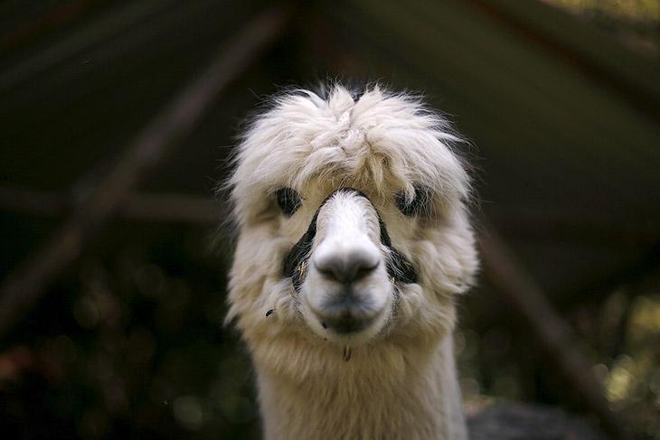 1. Альпакa — домашнее парнокопытное животное и является частью семейства верблюдовых Южной Амер