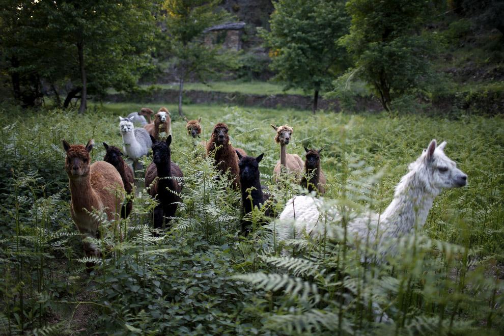 14. Но работа с животными приносит бывшей англичанке не только удовольствие. Мех альпак очень с