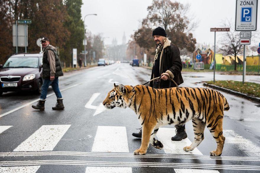 Цирковой артист выгуливает тигра, Чешская Республика.