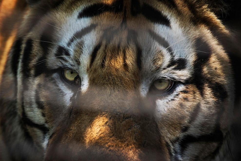 4. В 1993 году в Китае запретили разведение тигров, однако в стране до сих пор существует около
