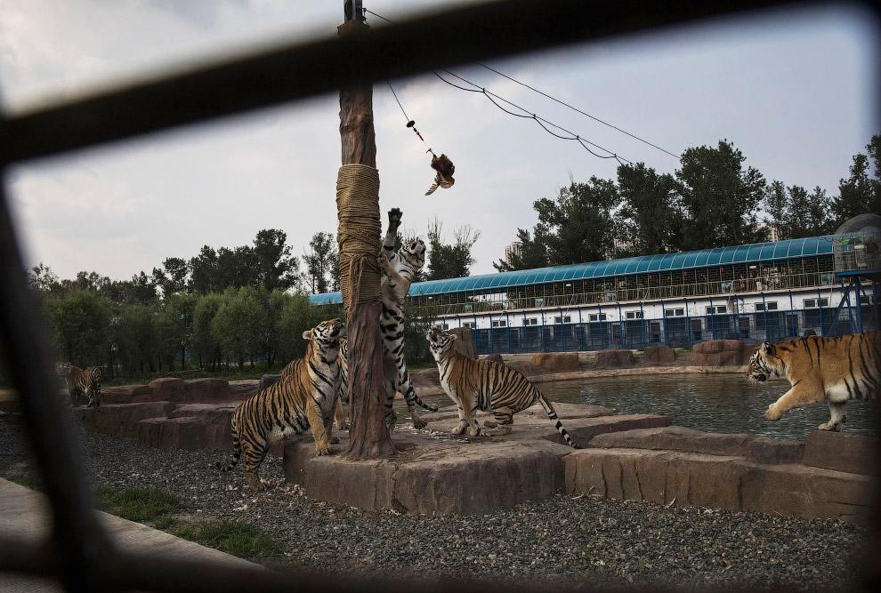 6. Китайские туристы на тигриной ферме в Китае, 16 августа 2017. (Фото Kevin Frayer):