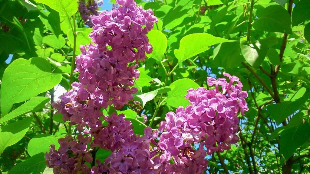 Сиреневый сад-36.jpg